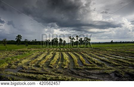 Newly Harvested Rice Field Showing Left Over Rice That Causes Problem When Farmers Burn Asia