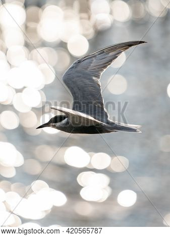Whiskered Tern In Flight With Open Wings Over Beautiful Ocean.