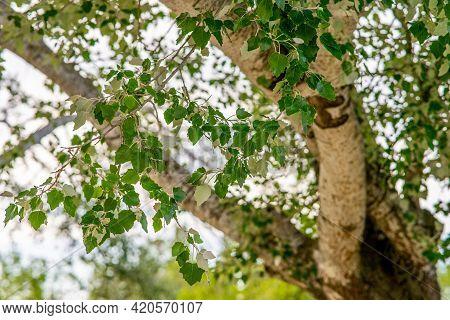 Selective Focus Of Grey Poplar Leafs (populus