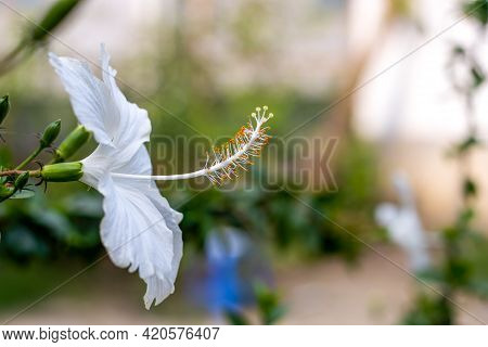 White Hibiscus Rosa Sinensis Or White Chinese Rose Close Up Inside Of A Home Garden