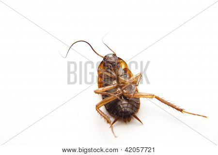 Dangerous Brown Cockroach