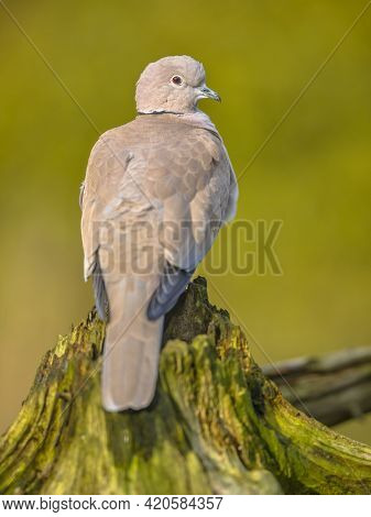 Eurasian Collared Dove (streptopelia Decaocto) Bird Perched On Trunk Of Tree In Ecological Garden Ag