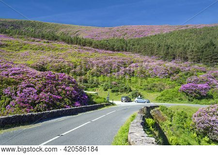 The Road To Vee Pass In Knockmealdown Mountains Is Winding Among Hills Covered With Rhododendrons Wh