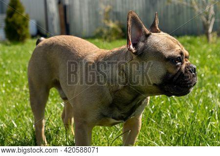 Adorable Brown Frenc Bulldog On A Backyard Enjoing Summer Sunny Day.