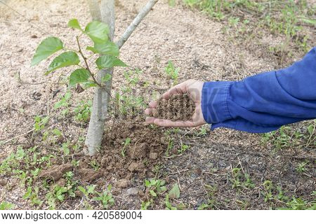 Hand Of Farmers Is Adding Manure Or Dung To The Trees In The Garden.