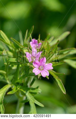 Long Stalked Cranesbill (geranium Columbinum) Flower