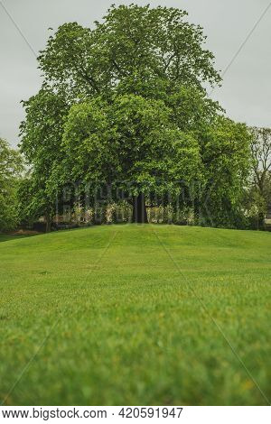 A Single Massive Tree In A Park In A Small Town Of Ely In The Uk. Green Grass And Leaves On A Cold A