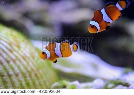 Portrait Of Two Anemonefish In A Marine Aquarium.