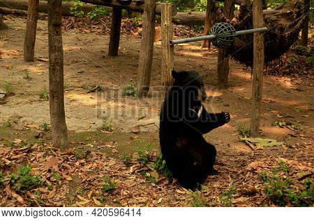 Asian Black Bear Or Moon Bears Relax In Cage Of Wildlife Sanctuaries Zoo In Forest For Laotian Peopl