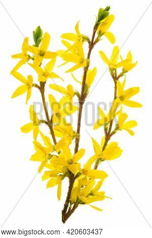 Isolated Branch Of Blooming Forsythia Flowers In Close-up