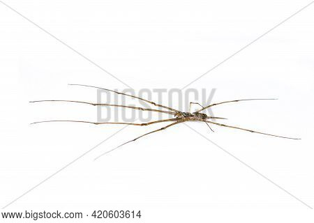 Image Of Two Tailed Spider(hersilia Sp.) Isolated On White Background. Animal. Insect.