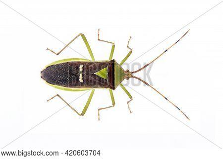 Image Of Green Legume Pod Bug(hemiptera) Isolated On White Background. Animal. Insect.