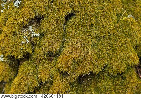 Green Background Of Overgrown Moss On The Bark Of A Tree.green Moss Background.