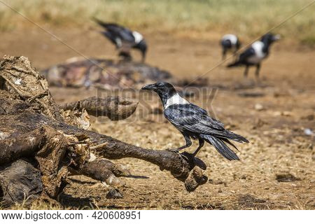African Pied Crow Group Scavenging A Cattle Carcass In Vulpro Rehabilitation Center, South Africa; S