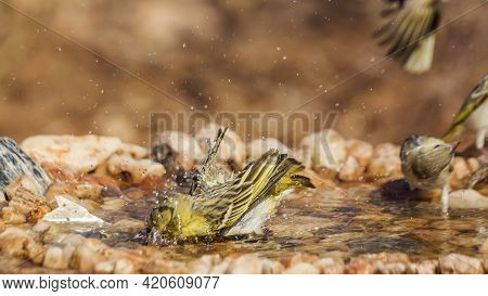 Three Village Weaver Bathing In Waterhole In Kruger National Park, South Africa ; Specie Ploceus Cuc