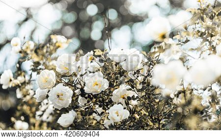 Retro Toned Natural Background With Blooming White Rose Bush Close-up On Bokeh Backdrop.