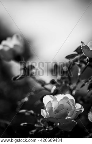 Black And White Vertical Image Soft Focus With Blooming White Rose Bush Flowers And Copy Space.