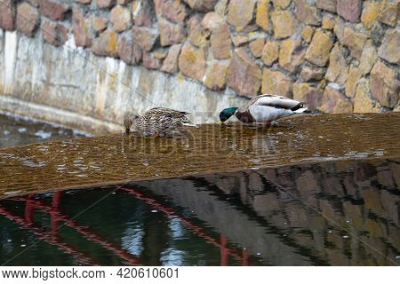 Duck And Drake Feed At The Edge Of A Waterfall In A City Park. The Birds Obtain Food By Plunging The