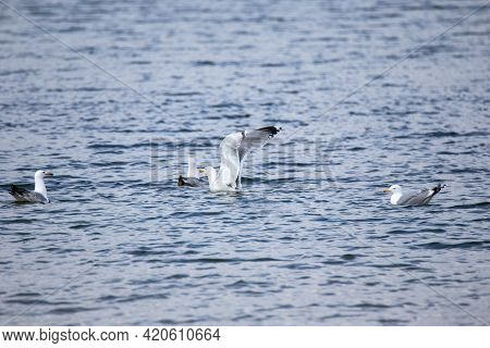 Several Seagulls Floating On The Surface Of The Water. One Seagull Raised Its Wings High And Is Abou