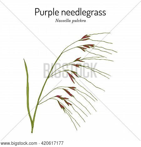 Purple Needlegrass Or Tussockgrass Nassella Pulchra , State Grass Of California. Hand Drawn Botanica