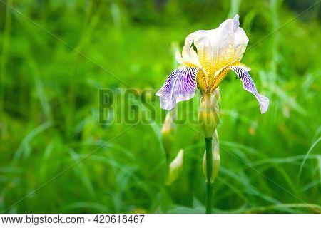 Iris Flower. Close-up Of A Blooming Iris Flower. Iris On A Background Of Green Grass. Selective Soft