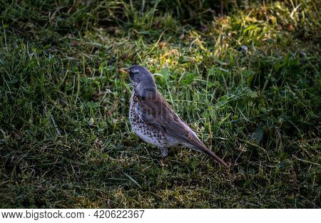 Fieldfare, A Species Of Thrushes Turdidae Bird Looking For Worm In The Grass. Turdus Pilaris On The