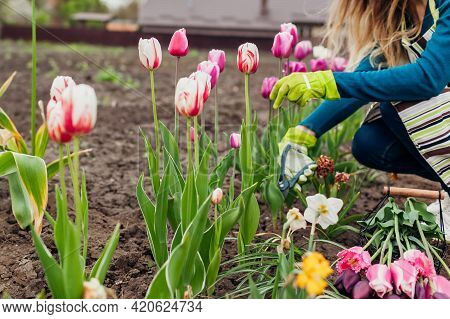 Gardener Picking Purple Tulips In Spring Garden. Woman Cuts Flowers Off With Pruner Putting Them In