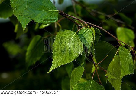 Leaf Buds Open On Trees In Spring. Kidney Swelling In Early Spring. Young Green Kidneys Begin To Dev
