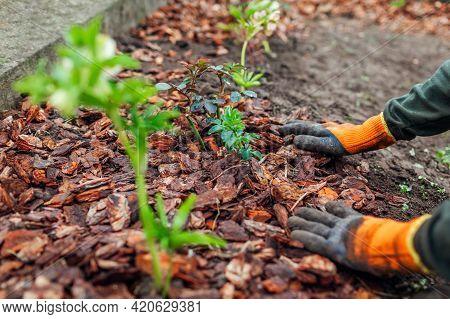 Gardener Mulching Spring Garden With Pine Wood Chips Mulch. Man Puts Bark Around Plants On Flowerbed