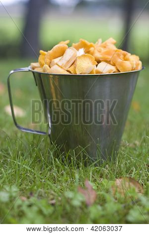 Close up of a jug full of yellow chantarelle mushrooms. Soft focus grass in the front out of focus poster