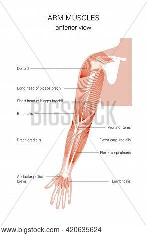Human Biceps, Triceps Deltoid And Other Muscle Of Arms Anterior View. Muscular System Poster. Hand B