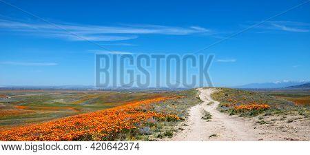 Desert Dirt Road Through Field Of California Golden Poppies In The High Desert Of Southern Californi