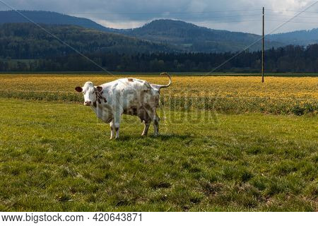 3spotted cow in a green field of the Swiss Alps in the canton of Jura. Nature on a cloudy day. Nobody inside