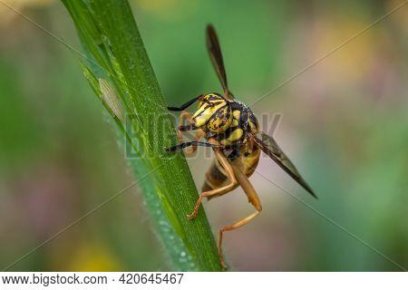 A Broad-banded Hornet Fly (spilomyia Alcimus). Raleigh, North Carolina.