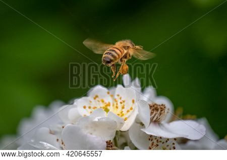 Clear View Of A Pollen Sac On The Hind Leg Of A Western Honeybee (apis Mellifera). Raleigh, North Ca