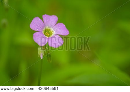 Macro Of A Violet Woodsorrel (oxalis Violacea) Bloom. Plenty Of Text Space For A Loved One.