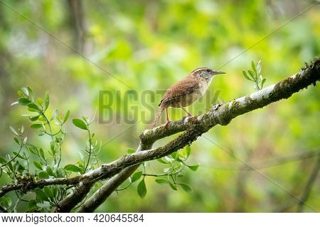 A Carolina Wren (thryothorus Ludovicianus) Perched On A Branch. Raleigh, North Carolina.
