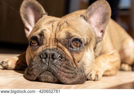 French Bulldog Lying Down On A Floor And Taking Sunbath. Domestic Cute Pet, Family Dog