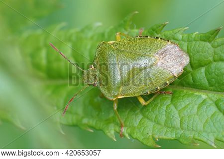 Closeup Of The Green Shieldbug , Palomena Prasina Sitting On A Leaf