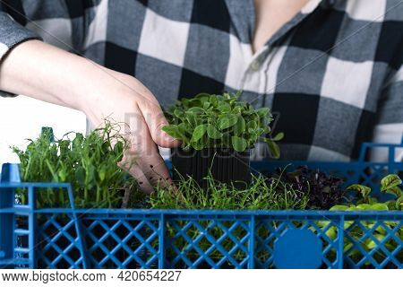 A Woman In A Shirt In A Cage Places A Tray Of Microgreens In A Delivery Box. Microgreen Delivery, He