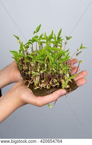 Rotate Microgreens For Food. Keep Mung Bean In Children's Hands. Green Plant For Salad. Uraban Garde