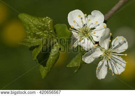 Three White Flowers Of A Plum Tree (prunus Domestica) With Leaves On A Small Branch