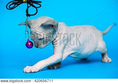 Sweet Hairless Kitten Of Canadian Sphynx Cat Breed Standing On Blue Background. Side View Of Animal