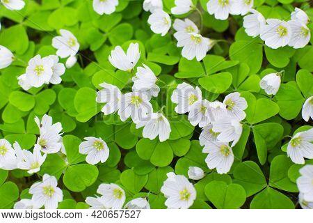 Background Of Spring Flowers Hare Grass. Spring Landscape