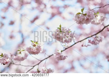 Sakura Flower Tree. Delicate Branch In Sunny Day. Spring Pastel Wallpaper Background. Tenderness Con