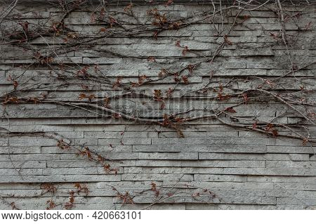 Close-up Of A Textured Old Gothic Style Wall Covered With Ivy.