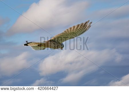 Kestrel Bird Of Prey Hovers Against A Dramatic Sky With Colorfull Blue And White Clouds, Hunting For