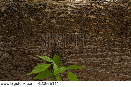 Texture Of Bark Wood Background With Leaves In High Resolution, Wooden Bark Pattern With Stem Of Lea