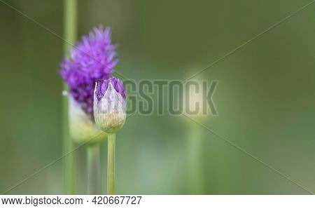 Close up shot of Allium flower buds in spring time