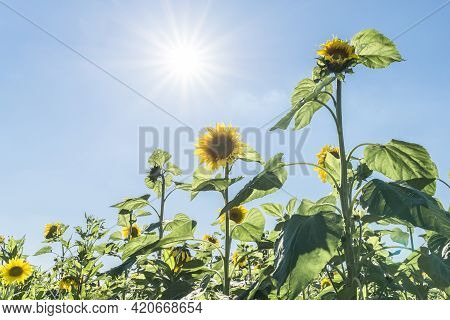 Sunflowers At A Sunny Summer Day With Sun And Sunbeam